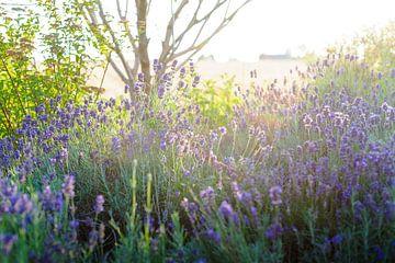 Lavande violette en fleur sous le soleil d'été sur Fotografiecor .nl