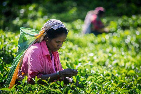 Picking Tee in den Bergen von Chantal Nederstigt