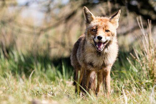 Blije vos in de Amsterdamse Waterleidingduinen van Marie-Christine Alsemgeest-Zuiderent