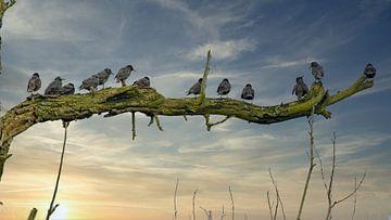 Spreeuwen (Sturnus vulgaris) van Anton Van Beek