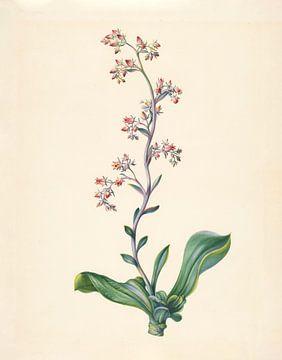 Echeveria Grandiflora von Elisabeth Johanna Koning, 1847