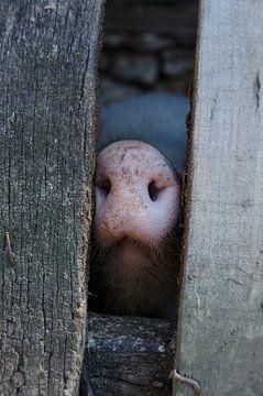 Klein biggetje die nieuwsgierig door het hek gluurt van Wilco Bos