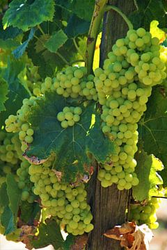 Wijnrank van Maurits Bredius