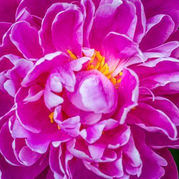 close-up van een paars-roze pioenroos met gele meeldraden van Marc Goldman