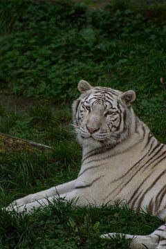 Witte tijger von Jeantina Lensen-Jansen