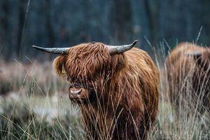 Schotse Hooglander von Bas Fransen