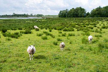 schapen in het veld van Compuinfoto .