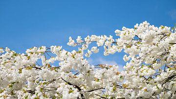 Weiße Kirschblüten von Gerda Hoogerwerf