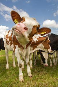 Koeien in het weiland van