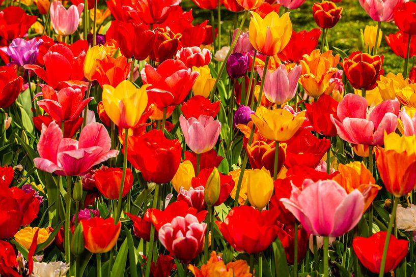 Tulpen gemengde Kleuren van Brian Morgan
