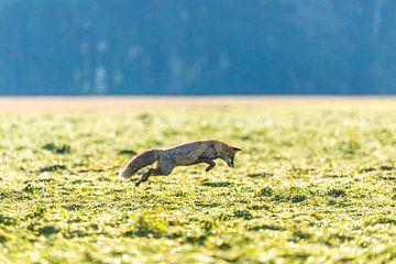 Fuchs Sprung von