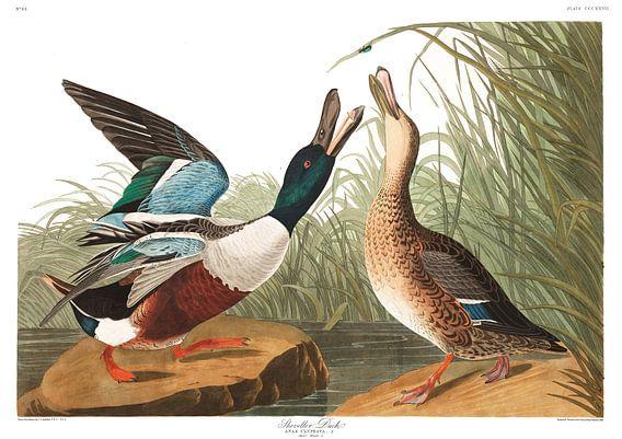 Slobeend van Birds of America
