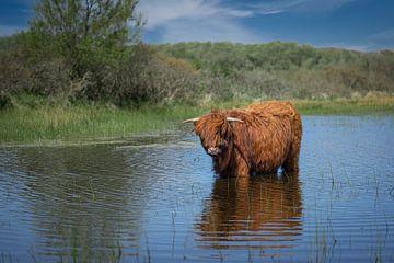 Een schotse hooglander die staat te pootje baden in de zon van 7.2 Photography