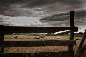 Texelse schapen op de Hoge Berg