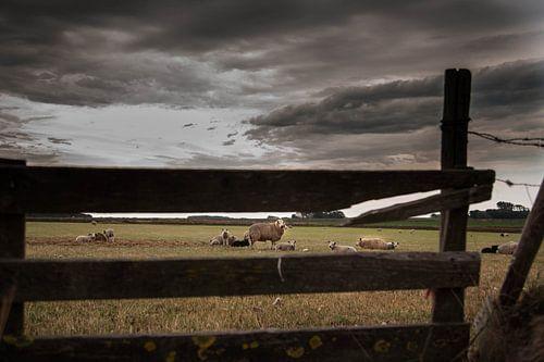Texelse schapen op de Hoge Berg van