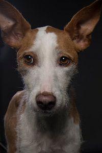 Bruin witte hond met grote oren