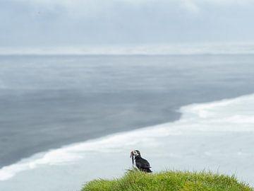 Papageientaucher mit Blick über die karge Aschelandschaft Islands am Kap Ingolfshofdi von Teun Janssen