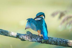 Kingfisher (ijsvogel) zoekt zijn portemonnee