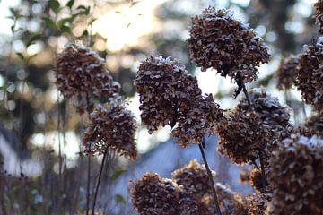 Hortensia's in de winter van Miriam Eikendal-Brugman