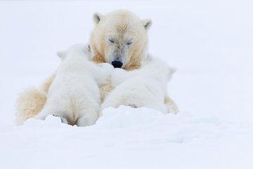 IJsbeer mama met twee jongen van AGAMI Photo Agency