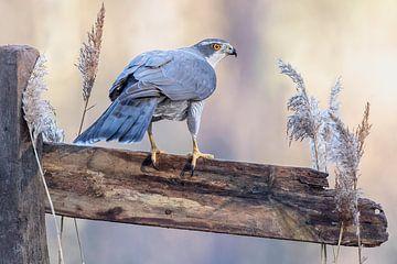 Hawk... sur Arno van Zon