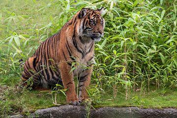 Sumatraanse tijger : Koninklijke Burgers' Zoo van Loek Lobel