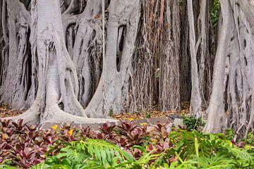 Bäume auf Teneriffa von Rico Ködder