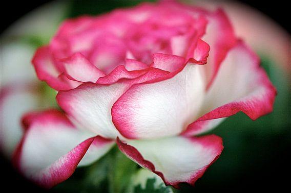 Roos met rose rand