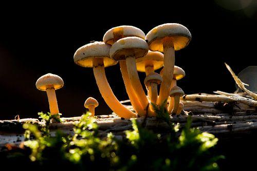 paddenstoelen van