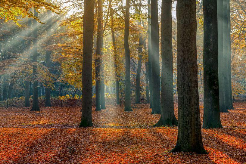 Zonnestralen in het beukenbos in de herfst, Utrechtse Heuvelrug, Nederland van Sjaak den Breeje Landschapsfotografie
