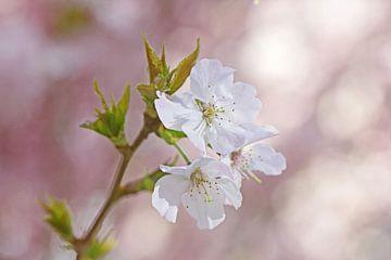 Bloesem in de lente van Discover Dutch Nature