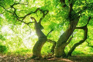 Waldzauber der Süntel-Buchen von Oliver Henze
