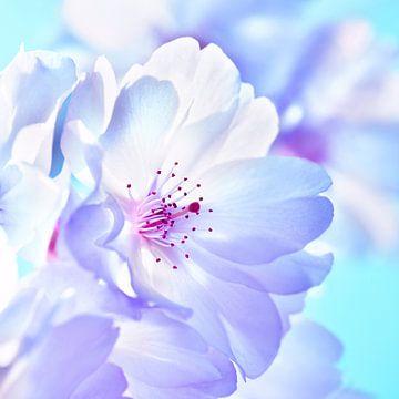 Kersenbloesem van Violetta Honkisz