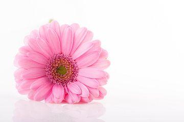 Roze Gerbera von Joke Beers-Blom