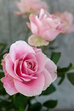 sehr schöne Rose von Chantal Verspeek