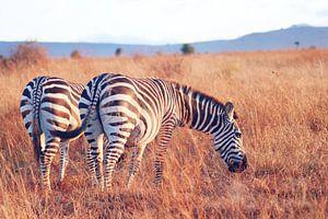 Grazende Zebra's bij Zonsopkomst van Cinthia Mulders