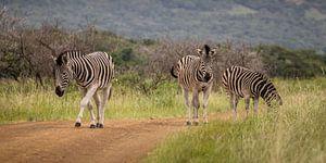 een groep Zebra's op zoek naar vers gras van Jordi Woerts