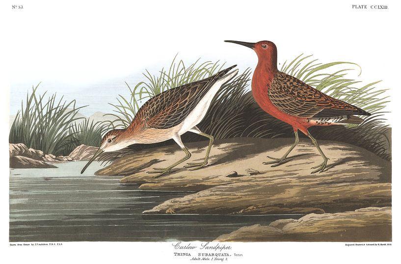 Krombekstrandloper van Birds of America