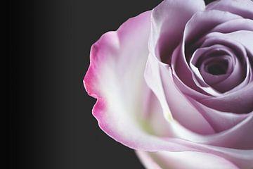 Nahaufnahme einer rosa Rose von Nicole