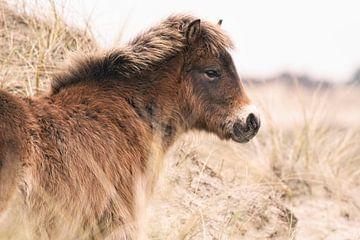 Exmoor Pony in Dünenlandschaft von Dirk-Jan Steehouwer