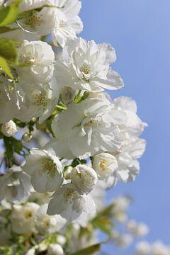 Fleur de cerisier van Dagmar Marina