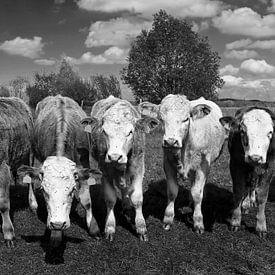 Sechs Kühe von Frank Herrmann