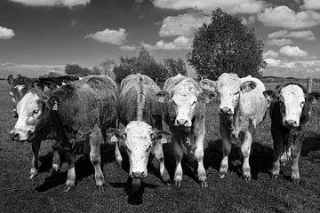 Sechs Kühe