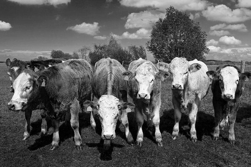 Six vaches sur Frank Herrmann