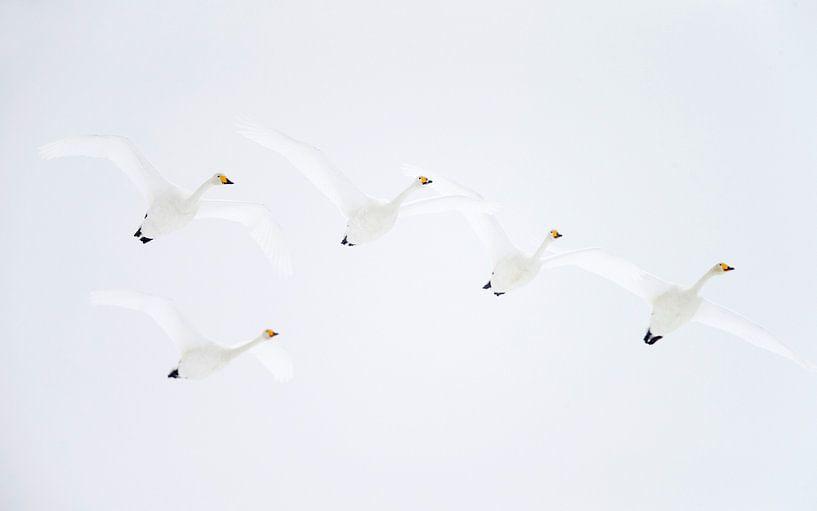 Wilde Zwanen (Cygnus cygnus) van Beschermingswerk voor aan uw muur