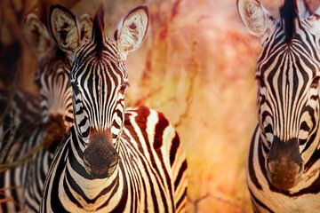 Zebras at sunset Manyeleti van