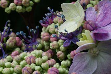 Hortensia in bloei von Sandra Loermans-Borgman