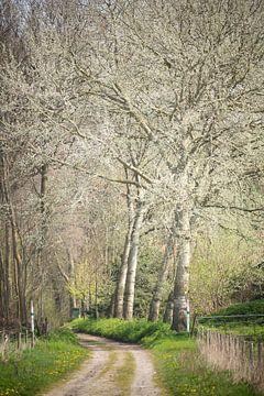 Grauwe abelen op landgoed Mattemburgh (Bergen op Zoom / Hoogerheide) van Fotografie Jeronimo