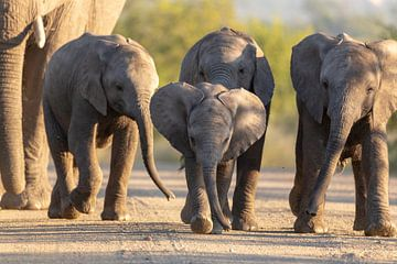 Famille des éléphants d'Afrique sur Dennis Eckert