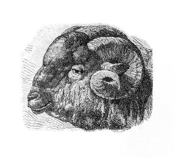 Mérinos schaap antieke gravure uit 1871 van Peter Hermus